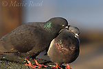 Rock Pigeons (Columba livia) pair, one preening the other during courtship, California, USA.<br /> Slide # B66-121