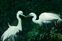 525006613 a mated pair of wild great egrets casmerodius alba interact on their nest in the ding darling national wildlife refuge ion sanibel island in florida