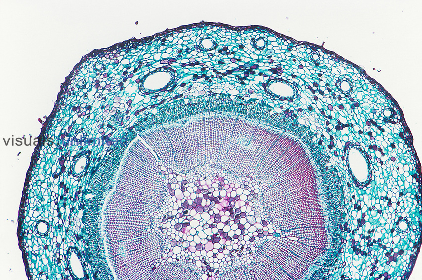 Cross-section of a one-year Pine stem (Pinus). LM X9.