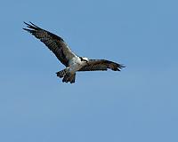 Osprey, Fish Hatchery, Inks Lake State Park, Texas