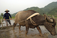 A Chinese farmer working for a local agriculture research team manning a ox-pulled plow for planting rice in a flooded paddy in rural Anhui Province, China. This particular experimental strain is planted weeks after the traditional planting dates. With food production facing pressures from its huge population, Chinese researchers continuosly lead the quest for discovering and breeding new trains in hopes of increasing production and nutrition content. With over 800 million peasants, small scale agriculture is still an unreplacable way of earning income in China despite recent economic booms and labor migration toward cities and non-agricultural sectors.<br /> 24-JUN-04
