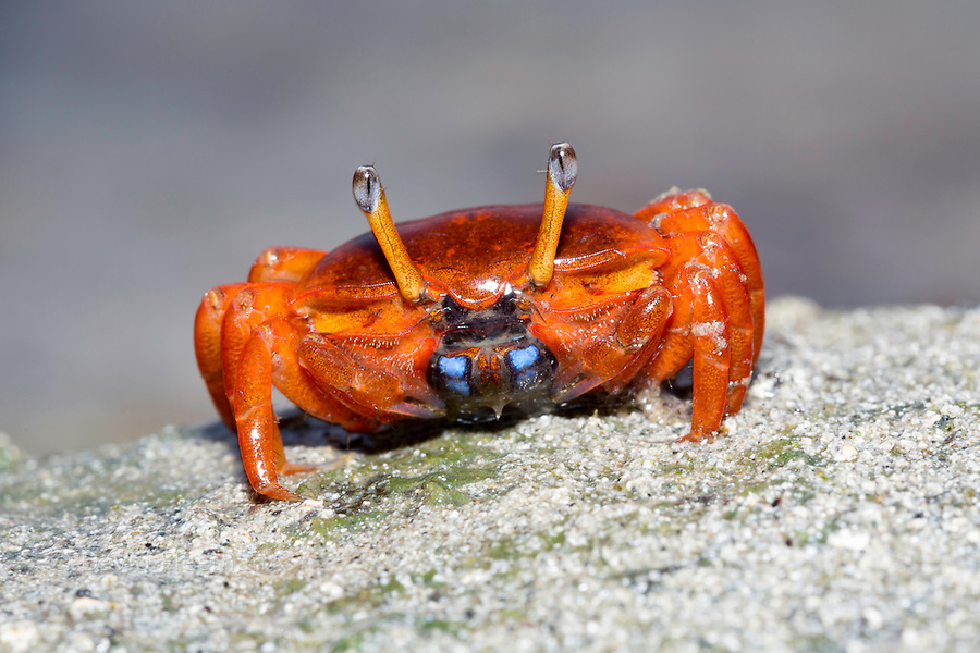 A female fiddler crab, Uca sp, on the island of Yap, Micronesia.