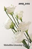 Gisela, FLOWERS, BLUMEN, FLORES, photos+++++,DTGK2401,#f#, EVERYDAY