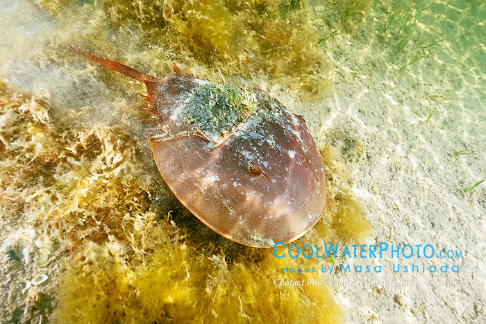 Atlantic horseshoe crab, Limulus polyphemus, Florida Bay, Everglades National Park, Florida, Gulf of Mexico, Caribbean Sea, Atlantic Ocean