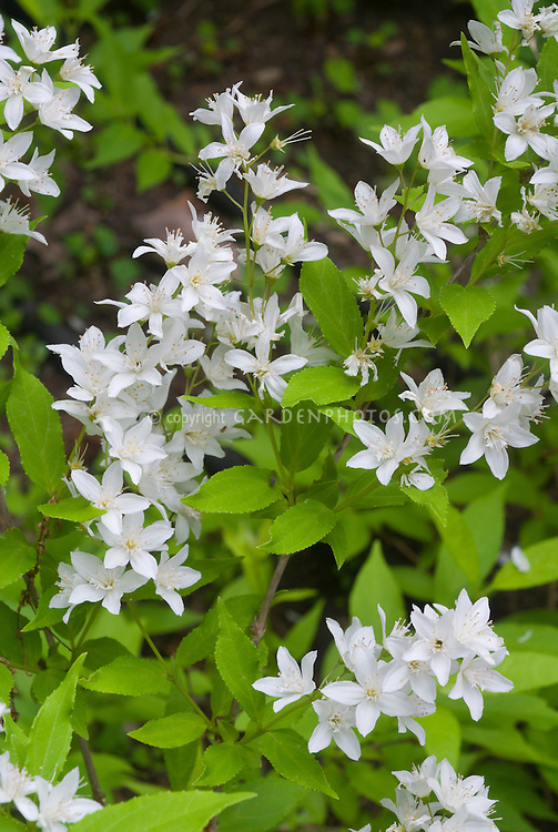 Deutzia gracilis 'Nikko' aka Deutzia crenata Nikko in white spring flowers, slender deutzia shrub