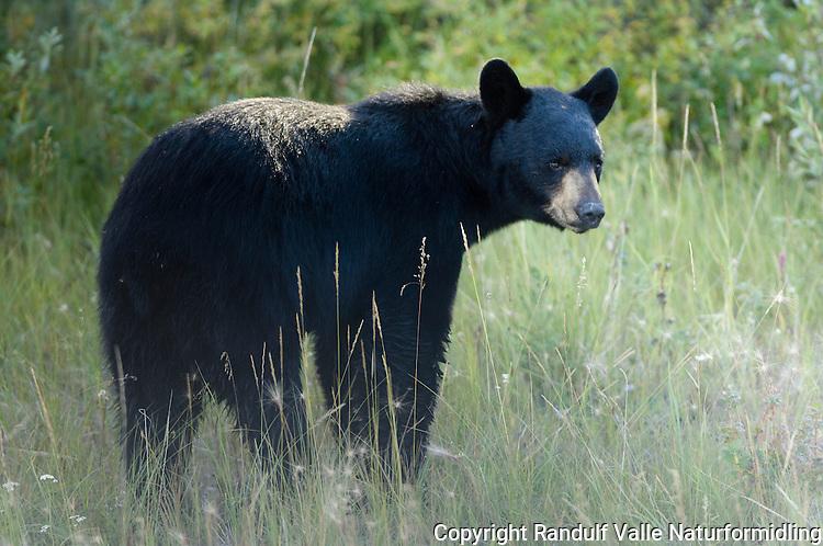 Svartbjørn (Ursus americanis) ----- Black bear (Ursus americanis)