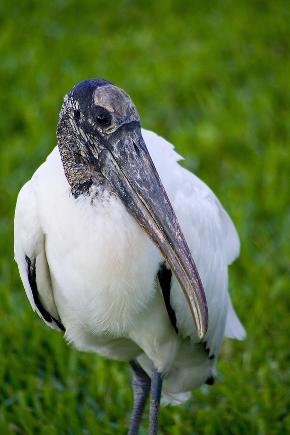 Wood stork, Morton Lake, Lakeland, Florida