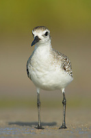 Black-bellied Plover (Pluvialis squatarola) - juvenile standing on a beach