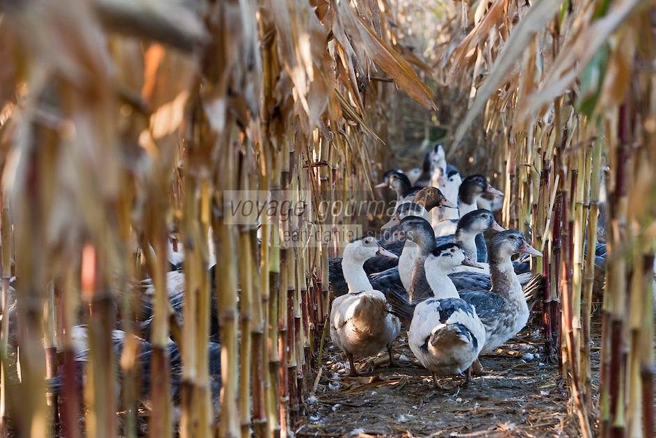 Europe/France/Aquitaine/24/Dordogne/Saint-Agne: Ferme de la Rivière - les canards en liberté dans le champ de maïs<br /> La ferme transforme elle même sa production qu' elle vend à la ferme ou à sa table d'Hôte