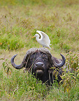 Cape buffalo(Syncerus caffer) with egret, Lake Nakuru National Park, Kenya.