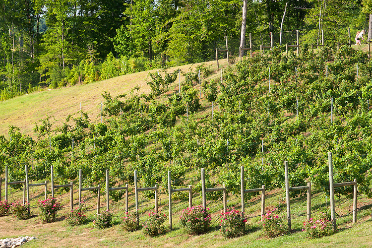 Vineyard at Potomac Point Vineyard and Winery, Stafford VA.
