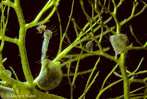 CA12-001a  Bladderwort - consuming mosquito larva - Utricularia spp.