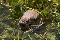Nutria, Jungtier, Sumpfbiber, Sumpf-Biber, Biberratte, Biber-Ratte, Myocastor coypus, Coypu, Ragondin