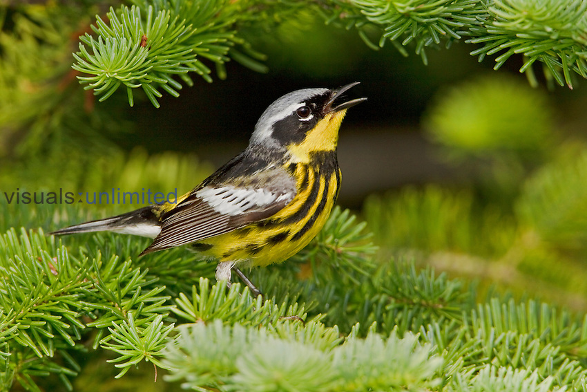 Magnolia Warbler (Dendroica magnolia) singing while perched on a spruce branch, Ontario Canada.