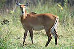 Nilgai, Boselaphus tragocamelus, female, Keoladeo Ghana National Park, Rajasthan, India, formerly known as the Bharatpur Bird Sanctuary, UNESCO World Heritage Site, antelope, Blue bull.India....