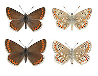 Brown Argus - Aricia agestis - male (top row) - female (bottom row). Wingspan 25mm. A well-marked butterfly of grassy habitats. Adult recalls a female Common Blue but note the smaller size and that orange submarginal spots on brown upperwings are much more striking. Underwings are grey-brown with white-ringed black spots, and orange submarginal spots. Double-brooded: flies May-Aug. Larva is grub-like and feeds on Common Rock-rose and storksbills. A distinctly local species, restricted to southern and central England, and often on chalk downland.