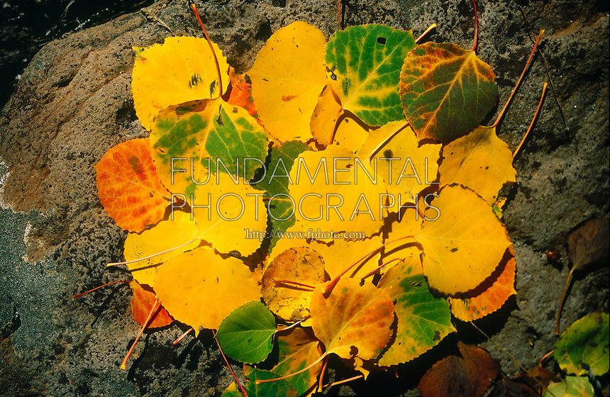 FALL FOLIAGE<br /> Aspen Leaves<br /> Zion National Park