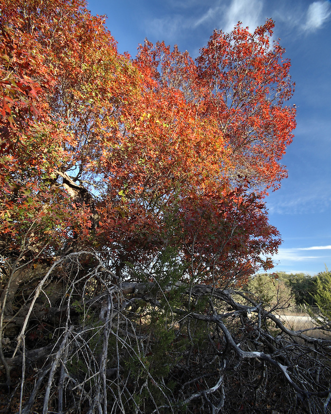 Oak tree damaged from a lighting strike. An Autumn morning in the Texas Hill Country.
