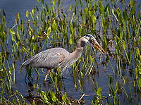 Great Blue Heron standing in water feeding on frog