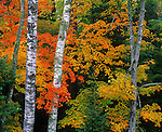 Vilas County, WI<br /> White birch trunks (Betula papyrifera) and maple (Acer saccharum) branches in fall color - Northern Highland American Legion State Forest