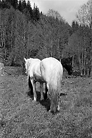 ROMANIA / Maramures / Maramures mountains /16.05.2008..Horses...© Davin Ellicson / Anzenberger