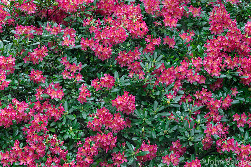 ORPTC_D192 - USA, Oregon, Portland, Crystal Springs Rhododendron Garden, Light red blossoms of rhododendrons in bloom.