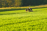 Route 654, Nippenose Valley. September mowing. Amishman with three team horse hitch.
