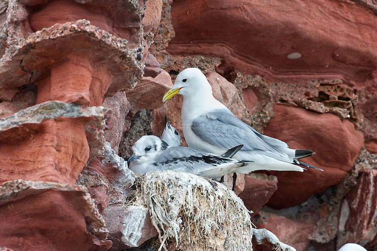 Black-legged kittiwake (Rissa tridactyla) Fledglings on nest with parent, happy housemates. Parents are nearing the completion of the raring of young to the fledgling stage. The demand for food is at it's peak.