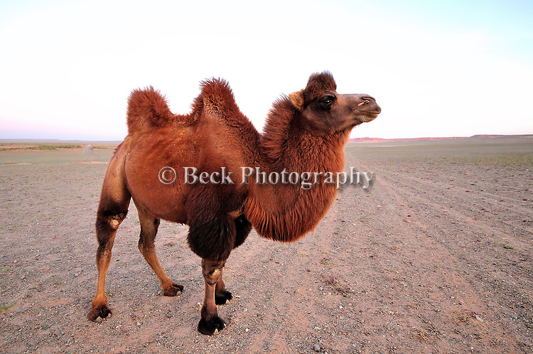 A Bactrian camel, Camelus bactrianus, both domesticated and wild, is an even-toed two-humped camel that lives in the Gobi Desert, Mongolia.