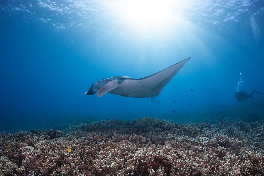 A diver observes a reef manta ray, Manta alfredi, gliding over a shallow coral reef off West Maui, Hawaii.