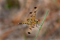 379020001 a wild male calico pennant celithemis elisa perches on a grass stem near boykin spring in jasper county texas united states