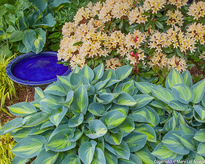 Vashon-Maury Island, WA: Spring garden bed with blossoming rhododendron and hosta 'June' next to blue bird bath