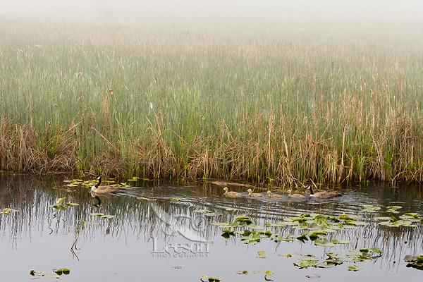 Canadian Goose family on foggy morning in Klamath National Wildlife Refuge, Oregon.  May.