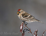 Common Redpoll (Carduelis flammea) female on alder stem in winter, New York, USA