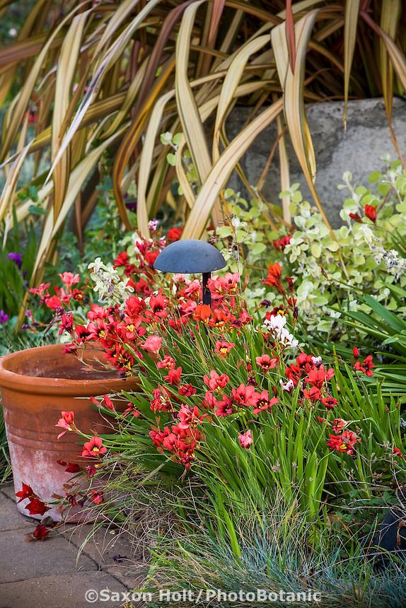 Spring flowering bulb, Sparaxis in Pasadena garden