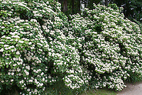 Viburnum hedge in flower