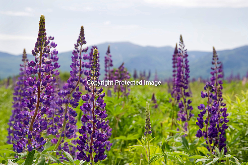Colorful Lupines Blooming in Meadow with View of White Mountains in New Hampshire