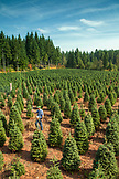 USA, Oregon, Corbett, Trout Creek Tree Farm, 80 acres of Noble fir Christmas trees nestled in the foothills near Mt. Hood