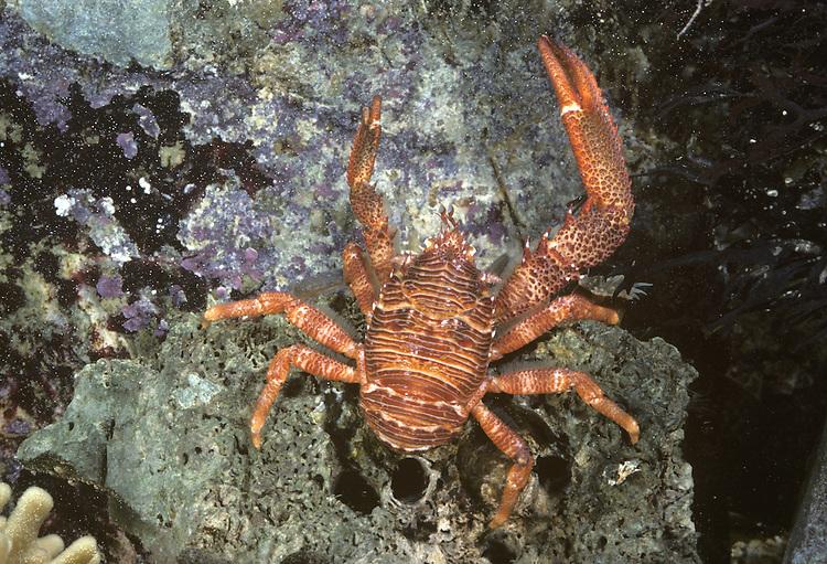 Spiny Squat Lobster - Galathea strigosa