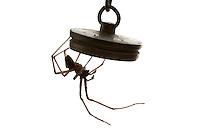 House Spider - Tegenaria domestica