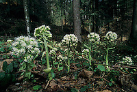 White Butterbur, Petasites albus, blooming, Oberaegeri, Switzerland, April 1995