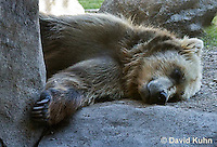 i0301-1101  Grizzly Bear, Ursus arctos horribilis  © David Kuhn/Dwight Kuhn Photography