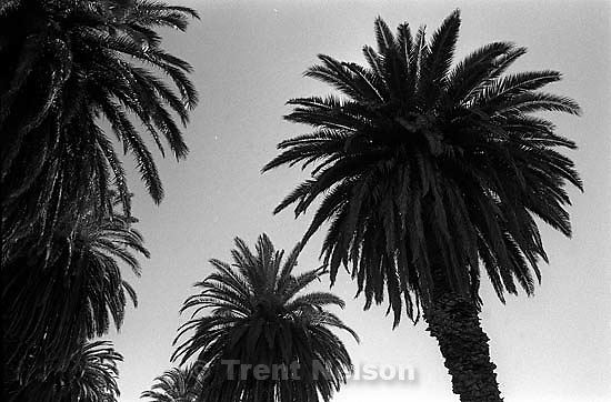 palm trees at old winery.<br />