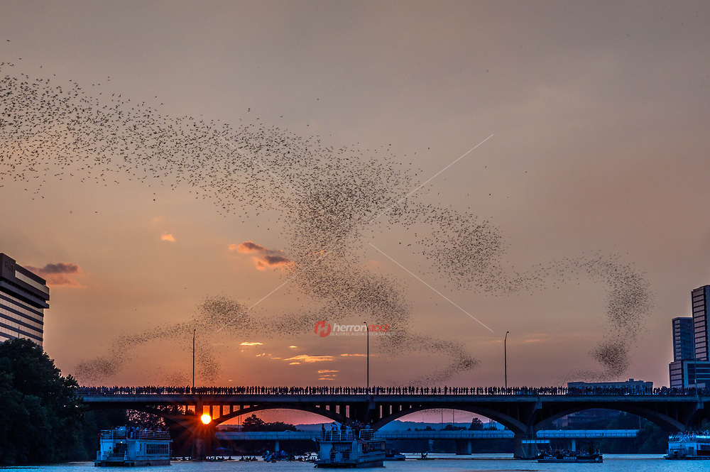 As the city came to appreciate its bats, the population under the Congress Avenue Bridge grew to be the largest urban bat colony in North America. With up to 1.5 million bats spiraling into the summer skies, Austin now has one of the most unusual and fascinating tourist attractions anywhere.