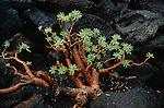 Euphorbia balsamifera, plante endémique de Lanzarote.