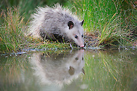 Virginia Opossum (Didelphis virginiana), young drinking from wetland lake, Fennessey Ranch, Refugio, Coastal Bend, Texas, USA