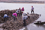 Oyster farming in Marin County, CA