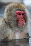 Japanese Macaque, Macaca, fuscata, adult bathing in hot spring water, Jigokudani National Park, Nagano, Honshu, Asia, primates, old world monkeys, snow, macaques, behavior, onsen, red face.Japan....