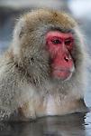 Japanese Macaque, Macaca, fuscata, adult bathing in hot spring water, Jigokudani National Park, Nagano, Honshu, Asia, primates, old world monkeys, snow, macaques, behavior, onsen, red face.Japan....