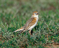 White-winged Lark, Male - Melanocorypha leucoptera